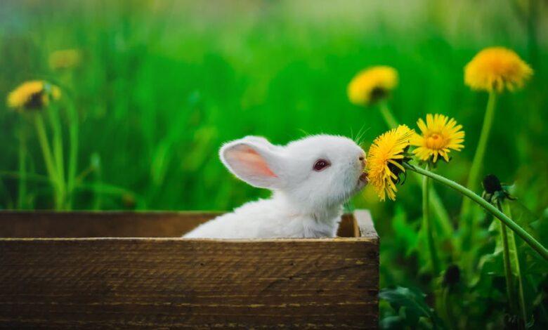 fyrværkeri kanin